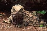 animal;dragon;dragons;lizard;lizards;natural;nature;reptile;reptiles;rhynchocephalia;Sphenodon-punctatus;tuataras;wildlife