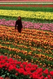 van-eden;van-eeden;flower;flowers;tulip;tulips;garden;gardens;colour;colours;color;colors;red;orange;pink;yellow;person;field;fields;farm;farms;horticulture;rural;floral;bulb;bulbs;farming;cultivate;cultivation;grow;growing