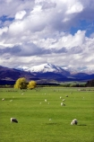 agricultural;agriculture;country;countryside;farm;farming;farmland;farms;fibre;field;fields;grass;grassy;horticulture;lamb;lambs;lush;meadow;meadows;Mossburn;mountain;mountains;New-Zealand;paddock;paddocks;pasture;pastures;rural;sheep;snow;South-Island;Southland;verdant;wool;woolly;wooly