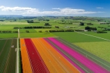 aerial;Aerial-drone;Aerial-drones;aerial-image;aerial-images;aerial-photo;aerial-photograph;aerial-photographs;aerial-photography;aerial-photos;aerial-view;aerial-views;aerials;agricultural;agriculture;bloom;blooming;blooms;color;colorful;colour;colourful;country;countryside;crop;crops;Drone;Drones;Edendale;farm;farming;farmland;farms;field;fields;floral;flower;flower-bed;flower-beds;flower-garden;flower-gardens;flowers;garden;gardens;geometric;green;green-fields;growing;horticulture;line;lines;meadow;meadows;N.Z.;New-Zealand;NZ;orange;orange-flowers;paddock;paddocks;pasture;pastures;pattern;patterns;pink;pink-flowers;Quadcopter-aerial;Quadcopters-aerials;red;red-flowers;row;rows;rural;S.I.;season;seasonal;seasons;SI;South-Is;South-Island;Southland;spring;spring-time;spring_time;springtime;Triflor;tulip;tulips;U.A.V.-aerial;UAV-aerials;vibrant