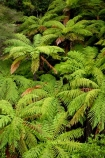 beautiful;beauty;bush;cyathea;endemic;fern;ferns;forest;forests;Forgotten-World-Highway;frond;fronds;green;N.I.;N.Z.;native;native-bush;natives;natural;nature;New-Zealand;NI;North-Island;NZ;ponga;pongas;punga;pungas;rain-forest;rain-forests;rain_forest;rain_forests;rainforest;rainforests;scene;scenic;Stratford-_-Taumarunui-Road;Tangarakau-Gorge;Taranaki;Taumarunui-_-Stratford-Road;The-Forgotten-World-Highway;tree-fern;tree-ferns