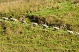 agricultural;agriculture;country;countryside;ewes;farm;farming;farmland;farms;field;fields;meadow;meadows;N.I.;N.Z.;New-Zealand;NI;North-Island;NZ;paddock;paddocks;pasture;pastures;rural;sheep;Wanganui;Wanganui-Region;wool