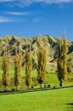 agricultural;agriculture;autuminal;autumn;autumn-colour;autumn-colours;autumnal;color;colors;colour;colours;country;countryside;deciduous;fall;farm;farming;farmland;farms;field;fields;Kakatahi;leaf;leaves;Mangawhero-Valley;meadow;meadows;N.I.;N.Z.;New-Zealand;NI;North-Island;NZ;paddock;paddocks;pasture;pastures;poplar;poplar-tree;poplar-trees;poplars;rural;season;seasonal;seasons;tree;trees;Wanganui;Wanganui-Region