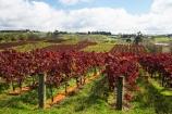 agricultural;agriculture;autuminal;autumn;autumn-colour;autumn-colours;autumnal;color;colors;colour;colours;country;countryside;crop;crops;cultivation;deciduous;fall;farm;farming;farmland;farms;field;fields;grape;grapes;grapevine;horticulture;leaf;leaves;N.I.;N.Z.;New-Zealand;NI;North-Island;NZ;Rongopai-Wines;row;rows;rural;season;seasonal;seasons;Te-Kauwhata;vine;vines;Vineyard;vineyards;vintage;Waikato;wine;wineries;winery;wines