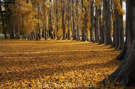 autuminal;autumn;autumn-colour;autumn-colours;autumn-leaves;autumnal;avenue;avenues;Central-Otago;color;colors;colour;colours;deciduous;fall;golden;Lake-Wanaka;leaf;leaves;N.Z.;New-Zealand;NZ;Otago;poplar;poplar-tree;poplar-trees;poplars;S.I.;season;seasonal;seasons;SI;South-Island;Southern-Lakes;Southern-Lakes-District;Southern-Lakes-Region;tree;trees;trunk;trunks;Wanaka;yellow
