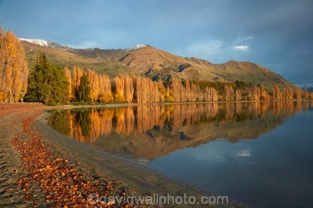autuminal;autumn;autumn-colour;autumn-colours;autumnal;calm;Central-Otago;color;colors;colour;colours;deciduous;fall;gold;golden;lake;Lake-Wanaka;lakes;leaf;leaves;Mount-Alpha;Mt-Alpha;Mt.-Alpha;N.Z.;New-Zealand;NZ;Otago;placid;poplar;poplar-tree;poplar-trees;poplars;quiet;reflected;reflection;reflections;S.I.;season;seasonal;seasons;serene;SI;smooth;South-Is.;South-Island;Southern-Lakes;Southern-Lakes-District;Southern-Lakes-Region;Sth-Is;still;tranquil;tree;trees;Wanaka;water;yellow