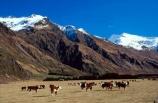 cow;cows;mountain;mountains;snow;snow-cap;snow-caps;snow-capped;snow_cap;snow_caps;snow_capped;winter;graze;grazing;farm;farms