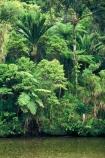bush;native;forest;forests;rain-forest;fern;ferns;nikau;nikaus;aplm;palms;river;rivers;brook;brooks;stream;streams;creek;creeks;green;colour;colours;color;colors;lush;verdant;natural;nature;untouched;wilderness;unspoilt