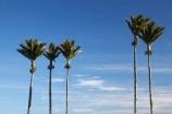 5;endemic;five;N.Z.;native;native-plant;native-plants;natives;natural;nature;New-Zealand;nikau;nikau-palm;nikau-palms;nikaus;NZ;palm;palm-tree;palm-trees;palms;plant;plants;Punakaiki;Rhopalostylis-sapida;S.I.;SI;South-Island;West-Coast;Westland