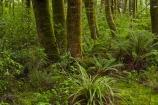 Beech-Forest;Blue-Pools;Blue-Pools-Track;Blue-Pools-Walk;bush;fern;ferns;forest;forests;green;Haast-Pass;lush;Makarora;Makarora-River;moss;mosses;Mount-Aspiring-National-Park;Mt-Aspiring-N.P.;Mt-Aspiring-National-Park;Mt-Aspiring-NP;N.Z.;national-park;national-parks;native-bush;native-forest;native-forests;native-tree;native-trees;native-woods;natural;nature;New-Zealand;NZ;Otago;S.I.;SI;South-Is;South-Island;Sth-Is;tree;tree-trunks;trees;verdant;West-Coast;Westland;wood;woods