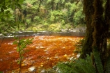 beautiful;beauty;bush;endemic;fern;ferns;forest;forests;green;Kahurangi-National-Park;Karamea;lush;national-park;national-parks;native;native-bush;natives;natural;nature;New-Zealand;Nothofagus;Oparara-Basin;Oparara-River;ponga;pongas;punga;pungas;rain-forest;rain-forests;rain_forest;rain_forests;rainforest;rainforests;scene;scenic;South-Island;southern-beeches;tannin;tannin-stained;tannin-stained-river;tannin-stained-water;tannin_stained;tannin_stained-river;tannin_stained-water;timber;tree;tree-fern;tree-ferns;tree-trunk;tree-trunks;trees;trunk;trunks;verdant;West-Coast;Westland;wood;woods