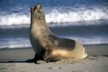 wildife;marine;mammal;nature;native;natural-history;otago-peninsula;mammals;Phocarctos-hookeri;seal;seals;dunedin;new-zealand;nz;yawn;laugh;mouth;teeth;sand;beach;beaches;sea-lion;sea-lions;sealion;sealions;hookers-sea-lion;hookers;hooker-sealion;yawn;yawns;laugh;laughs