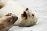 aggresive;animal;animals;beach;beaches;coast;coastal;cub;cubs;dunedin;eeth;hooker-sealion;hookers;hookers-sea-lion;mammal;mammals;marine;mouth;N.Z.;native;native-wildlife;natural-history;nature;new-zealand;New-Zealand-NZ;nz;Otago;Phocarctos-hookeri;pup;pups;S.I.;Saint-Clair-Beach;sand;sea-lion;sea-lions;seal;sealion;sealions;seals;SI;South-Is;South-island;St-Clair-Beach;St.-Clair-Beach;wildife;wildlife;yawn