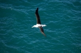 albatross;albatross-colony;albatrosses;Animal;animals;avian;Beak;bird;bird-watching;bird_watching;birds;colonies;colony;Diomedea-epomophora;Dunedin;eco-tourism;eco_tourism;ecotourism;Fauna;Feather;flight;fly;flying;marine;N.Z.;Natural;Nature;New-Zealand;northern-royal-albatross;NZ;Ornithology;Otago;Otago-Peninsula;Royal-Albatross;Royal-Albatrosses;S.I.;SI;soar;soaring;South-Is.;South-Island;Taiaroa-Head;Taiaroa-Heads;wild;Wildlife;Wing;wingspan