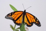 animal;animals;Asclepias;close_up;closeup;Danaus-plexippus;insect;insects;invertebrate;life-cycle;life_cycle;lifecycle;macro;metamorphosis;Milkweed;Monarch-Butterflies;Monarch-Butterfly;orange;Swan-Plant