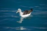 albatross;albatrosses;Animal;animals;Avian;Bird;bird-watching;bird_watching;birds;Bullers-Mollymawk;Bullers-Mollymawk;coastal;Diomedea-bulleri;eco-tourism;eco_tourism;ecotourism;Kaikoura;marine;Marlborough;mollymawk;mollymawks;N.Z.;native;Natural;natural-history;nature;new-zealand;NZ;ocean;Ornithology;rare;S.I.;sea;SI;South-Is;South-Island;wild;wildlife;Wing;wings