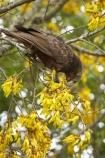 Animal;Animals;Avian;beak;beaks;bill;bills;bird;bird-watching;bird_watching;birds;bloom;blooming;blooms;bruce;centre;eco-tourism;eco_tourism;ecotourism;fauna;flower;flowers;island;kaka;Kakas;kowhai;Kowhai-Flower;Kowhai-Flowers;kowhai-tree;kowhai-trees;Lower-North-Island;meridionalis;mount;Mount-Bruce-Wildlife-Centre;Mt-Bruce-Wildlife-Centre;Mt.-Bruce-Wildlife-Centre;N.I.;N.Z.;native-bird;native-birds;native-parrot;native-parrots;natural;nature;nestor;Nestor-meridionalis;new;new-zealand;NI;north;North-Is;north-is.;north-island;North-Island-Kaka;North-Island-Kakas;NZ;o8l7162;ornithology;parrot;parrots;Pukaha;Pukaha-Mount-Bruce-Wildlife-Cent;renew;season;seasonal;seasons;sophora;Sophora-sp;spring;springtime;tree;wairarapa;Wild;Wildlife;yellow;zealand