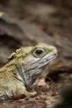 animal;bruce;capital;capitals;centre;cold-blooded;cold_blooded;dragon;dragons;island;lizard;lizards;Lower-North-Island;mount;Mount-Bruce-Wildlife-Centre;Mt-Bruce-Wildlife-Centre;Mt.-Bruce-Wildlife-Centre;N.I.;N.Z.;natural;nature;new;New-Zealand;NI;north;North-Is;north-is.;north-island;NZ;o8l7220;Pukaha;Pukaha-Mount-Bruce-Wildlife-Cent;reptile;reptiles;rhynchocephalia;Sphenodon-punctatus;tuatara;tuataras;wairarapa;wildlife;zealand