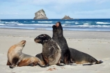 animal;animals;beach;beaches;bull;bulls;coast;coastal;coastline;Dunedin;Gull-Rocks;Hookers-Sea-Lion;Hookers-Sea-Lions;Hookers-Sea-Lion;Hookers-Sea-Lions;juvenile;Lion-Rock;Lions-Head-Rock;male;mammal;mammals;marine-mammal;marine-mammals;N.Z.;New-Zealand;New-Zealand-Sea-Lion;New-Zealand-Sea-Lions;NZ;Otago;Otago-Peninsula;Phocarctos-hookeri;S.I.;sand;Sandfly-Bay;sandy;sea-lion;sea-lion-calf;sea-lion-calfs;sea-lion-cub;sea-lion-cubs;sea-lion-pup;sea-lion-pups;sea-lions;shore;shoreline;SI;South-Is.;South-Island;tag-9003;wildlife