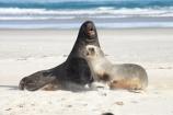 animal;animals;beach;beaches;bull;bulls;coast;coastal;coastline;Dunedin;Hookers-Sea-Lion;Hookers-Sea-Lions;Hookers-Sea-Lion;Hookers-Sea-Lions;juvenile;male;mammal;mammals;marine-mammal;marine-mammals;N.Z.;New-Zealand;New-Zealand-Sea-Lion;New-Zealand-Sea-Lions;NZ;Otago;Otago-Peninsula;Phocarctos-hookeri;S.I.;sand;Sandfly-Bay;sandy;sea-lion;sea-lion-calf;sea-lion-calfs;sea-lion-cub;sea-lion-cubs;sea-lion-pup;sea-lion-pups;sea-lions;shore;shoreline;SI;South-Is.;South-Island;tag-9003;wildlife