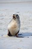 animal;animals;beach;beaches;coast;coastal;coastline;Dunedin;Hookers-Sea-Lion;Hookers-Sea-Lions;Hookers-Sea-Lion;Hookers-Sea-Lions;juvenile;mammal;mammals;marine-mammal;marine-mammals;N.Z.;New-Zealand;New-Zealand-Sea-Lion;New-Zealand-Sea-Lions;NZ;Otago;Otago-Peninsula;Phocarctos-hookeri;S.I.;sand;Sandfly-Bay;sandy;sea-lion;sea-lions;shore;shoreline;SI;South-Is.;South-Island;wildlife