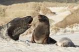 animal;animals;beach;beaches;bull;bulls;coast;coastal;coastline;Dunedin;Hookers-Sea-Lion;Hookers-Sea-Lions;Hookers-Sea-Lion;Hookers-Sea-Lions;male;mammal;mammals;marine-mammal;marine-mammals;N.Z.;New-Zealand;New-Zealand-Sea-Lion;New-Zealand-Sea-Lions;NZ;Otago;Otago-Peninsula;Phocarctos-hookeri;S.I.;sand;Sandfly-Bay;sandy;sea-lion;sea-lion-calf;sea-lion-calfs;sea-lion-cub;sea-lion-cubs;sea-lion-pup;sea-lion-pups;sea-lions;shore;shoreline;SI;South-Is.;South-Island;tag-9003;wildlife