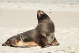 animal;animals;beach;beaches;coast;coastal;coastline;Dunedin;Hookers-Sea-Lion;Hookers-Sea-Lions;Hookers-Sea-Lion;Hookers-Sea-Lions;mammal;mammals;marine-mammal;marine-mammals;N.Z.;New-Zealand;New-Zealand-Sea-Lion;New-Zealand-Sea-Lions;NZ;Otago;Otago-Peninsula;Phocarctos-hookeri;S.I.;sand;Sandfly-Bay;sandy;sea-lion;sea-lions;shore;shoreline;SI;South-Is.;South-Island;wildlife