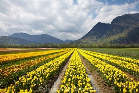 Agassiz;B.C.;BC;Bear-Mountain;bloom;blooming;blooms;British-Columbia;Canada;Canadian;color;colorful;colors;colour;colourful;colours;country;countryside;cultivation;farm;farming;farmland;farms;field;fields;flora;floral;flower;flower-farm;flower-farming;flower-farms;flowers;Fraser-Valley;fresh;garden;grow;growing;growth;horticulture;la-Colombie_Britannique;North-America;paddock;paddocks;renew;rural;Seabird-Island;season;seasonal;seasons;spring;springtime;tulip;tulip-bulb-growing;tulip-farm;tulip-farming;tulip-farms;tulip-field;Tulip-Fields;Tulipa-sp.;tulips;Tulips-of-the-Valley;yellow