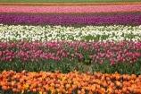 Agassiz;B.C.;BC;bloom;blooming;blooms;British-Columbia;Canada;Canadian;color;colorful;colors;colour;colourful;colours;country;countryside;cultivation;farm;farming;farmland;farms;field;fields;flora;floral;flower;flower-farm;flower-farming;flower-farms;flowers;Fraser-Valley;fresh;garden;grow;growing;growth;horticulture;la-Colombie_Britannique;North-America;orange;paddock;paddocks;pink;renew;rural;Seabird-Island;season;seasonal;seasons;spring;springtime;tulip;tulip-bulb-growing;tulip-farm;tulip-farming;tulip-farms;tulip-field;Tulip-Fields;Tulipa-sp.;tulips;Tulips-of-the-Valley;white