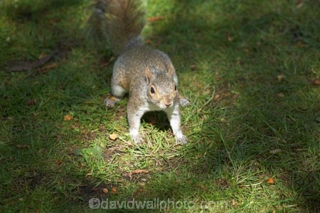 animal;animals;britain;City-of-Westminster;eastern-gray-squirrel;england;Europe;G.B.;GB;great-britain;grey-squirrel;kingdom;london;mammal;mammals;o8l4797;Royal-Parks-of-London;Saint-James-Park;Saint-Jamess-Park;Sciurus-carolinensis;St-James-Park;St-Jamess-Park;St.-James-Park;St.-Jamess-Park;U.K.;uk;united;United-Kingdom;Westminster;wildlife