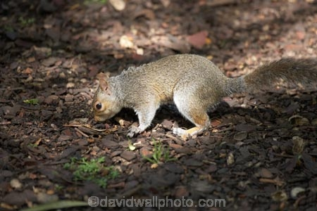 animal;animals;britain;City-of-Westminster;eastern-gray-squirrel;england;Europe;G.B.;GB;great-britain;grey-squirrel;kingdom;london;mammal;mammals;o8l4802;Royal-Parks-of-London;Saint-James-Park;Saint-Jamess-Park;Sciurus-carolinensis;St-James-Park;St-Jamess-Park;St.-James-Park;St.-Jamess-Park;U.K.;uk;united;United-Kingdom;Westminster;wildlife