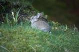 An-t_Eilean-Sgitheanach;animal;animals;Britain;bunny;bunny-rabbit;Eilean-Che�;G.B.;GB;Great-Britain;Highlands;Inner-Hebrides;Island-of-Skye;Isle-of-Skye;lagomorphs;rabbit;rabbits;Scotland;Scottish-Highands;Skye;Trotternish-Peninsula;U.K.;UK;United-Kingdom;wildlife