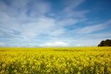 agricultural;agriculture;Banffshire;blue-amp;-yellow;blue-and-yellow;blue-skies;blue-sky;Britain;British-Isles;Buckie;country;countryside;crop;crops;farm;farming;farmland;farms;field;fields;G.B.;GB;Great-Britain;horticulture;meadow;meadows;Moray;Moray-Firth-coast;paddock;paddocks;pasture;pastures;plant;plants;rape-field;rape-fields;rapeseed;rapeseed-field;rapeseed-fields;rapeseeds;rural;Scotland;U.K.;UK;United-Kingdom;yellow;yellow-amp;-blue;yellow-and-blue;yellow-field;yellow-fields