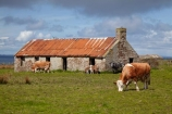 abandon;abandoned;Britain;British-Isles;Caithness;castaway;cattle;character;cottage;cottages;cow;cows;derelict;dereliction;deserted;desolate;desolation;destruction;G.B.;GB;Great-Britain;Highland;Highlands;historic;historical;house;houses;John-OGroats;livestock;neglect;neglected;old;old-fashioned;old_fashioned;ruin;ruins;run-down;rustic;Scotland;Scottish-Highlands;stock;stone-building;stone-buildings;stone-house;stone-houses;U.K.;UK;United-Kingdom;vintage
