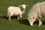 agricultural;agriculture;Animal;Animals;Britain;British-Isles;country;countryside;Cymru;ewe;ewes;farm;Farm-animals;farming;farmland;farms;field;fields;G.B.;GB;Great-Britain;herbivore;herbivores;herbivorous;lamb;livestock;mammal;mammals;meadow;meadows;Outdoor;Outdoors;Outside;paddock;paddocks;pasture;pastures;rural;sheep;stock;U.K.;UK;United-Kingdom;Wales;white;wool;woolly;wooly