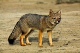 Argentina;Argentine-Patagonia;Argentine-Republic;Argentinian-gray-fox;Argentinian-gray-foxes;chilla;chillas;gray-zorro;gray-zorros;Latin-America;Lycalopex;Lycalopex-griseus;National-Route-40;Patagonia;Patagonian;Patagonian-fox;Patagonian-foxes;Route-40;Route-Forty;Ruta-40;Ruta-Nacional-40;Santa-Cruz-Province;South-America;South-American-gray-fox;South-American-gray-foxes;South-Argentina;Southern-Argentina;Sth-America