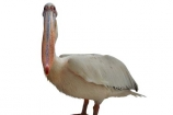 Africa;animal;bird;Eastern-White-Pelican;Great-White-Pelican;Pelecanus-onocrotalus;Southern-Africa;wildlife;cutout;cut;out