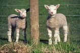 8;cute;fence;fence-post;fences;fluffy;grass;lamb;new;no.8;number-eight;sheep;Southern-Scenic-Route;spring;wire;wool;young