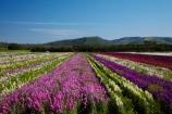 America;American;bloom;blooming;blooms;CA;California;Central-Coast;color;colorful;colors;colour;colourful;colours;country;countryside;cultivation;farm;farming;farmland;farms;field;fields;flora;floral;flower;flowers;fresh;garden;grow;growing;growth;horticulture;Lompoc;mauve;paddock;paddocks;pink;purple;renew;row;rows;rural;Santa-Barbara-County;season;seasonal;seasons;spring;springtime;States;flower-growing;flower-field;U.S.A;United-States;United-States-of-America;USA;violet;West-Coast;West-United-States;West-US;West-USA;Western-United-States;Western-US;Western-USA