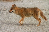 8263;america;american;American-jackal;American-jackals;badwater;Badwater-Basin;basin;brush-wolf;brush-wolves;CA;california;Canid;Canidae;Canids;canis;Canis-latrans;Carnivora;carnivore;carnivores;coyote;coyotes;death;Death-Valley;Death-Valley-N.P.;Death-Valley-National-Park;desert;Great-Basin;International-Biosphere-Reserve;latrans;Mammal;Mammals;mojave;Mojave-Desert;national;national-park;National-parks;omnivore;omnivores;park;prairie-wolf;prairie-wolves;predator;predators;states;The-Great-Basin;U.S.A;United-States;United-States-of-America;usa;valley;west-coast;West-United-States;West-US;West-USA;Western-United-States;Western-US;Western-USA;wilderness-area;Wildlife