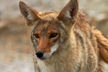 8370;america;american;American-jackal;American-jackals;badwater;Badwater-Basin;basin;brush-wolf;brush-wolves;CA;california;Canid;Canidae;Canids;canis;Canis-latrans;Carnivora;carnivore;carnivores;Close-up;Closeup;close_up;coyote;coyotes;death;Death-Valley;Death-Valley-N.P.;Death-Valley-National-Park;desert;Great-Basin;International-Biosphere-Reserve;latrans;Mammal;Mammals;mojave;Mojave-Desert;national;national-park;National-parks;omnivore;omnivores;park;Portrait;portraits;prairie-wolf;prairie-wolves;predator;predators;states;The-Great-Basin;U.S.A;United-States;United-States-of-America;usa;valley;west-coast;West-United-States;West-US;West-USA;Western-United-States;Western-US;Western-USA;wilderness-area;Wildlife