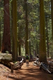 America;American;CA;California;conifer;coniferous-tree;coniferous-trees;conifers;Crane-Flat;forest;forested;forests;giant-redwood;giant-sequoia;giant-sequoia-grove;giant-sequoia-groves;giant-sequoias;hiker;hikers;hiking-path;hiking-paths;hiking-trail;hiking-trails;national-park;national-parks;path;paths;pathway;pathways;people;person;redwoods;route;routes;sequoia;sequoia-grove;sequoia-groves;Sequoiadendron;Sequoiadendron-giganteum;sequoias;Sierra-Nevada;Sierra-Nevada-foothills;Sierra-redwood;Sierran-redwood;States;timber;tourism;tourist;tourists;track;tracks;trail;trails;tramping-trail;tramping-trails;tree;tree-trunk;tree-trunks;trees;truck;trunks;Tuolumne-Grove;Tuolumne-Grove-path;Tuolumne-Grove-track;Tuolumne-Grove-trail;Tuolumne-Grove-walkway;Tuolumne-Sequoia-Grove;U.S.A;UN-world-heritage-area;UN-world-heritage-site;UNESCO-World-Heritage-area;UNESCO-World-Heritage-Site;united-nations-world-heritage-area;united-nations-world-heritage-site;United-States;United-States-of-America;USA;visitor;visitors;walker;walkers;walking-path;walking-paths;walking-trail;walking-trails;walkway;walkways;Wellingtonia;West-Coast;West-United-States;West-US;West-USA;Western-United-States;Western-US;Western-USA;wood;woods;world-heritage;world-heritage-area;world-heritage-areas;World-Heritage-Park;World-Heritage-site;World-Heritage-Sites;Yosemite;Yosemite-N.P.;Yosemite-Nat-Pk;Yosemite-National-Park;Yosemite-NP