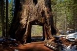America;American;CA;California;conifer;coniferous-tree;coniferous-trees;conifers;Crane-Flat;Dead-Giant;dead-giant-tunnel-tree;forest;forested;forests;giant-redwood;giant-sequoia;giant-sequoia-grove;giant-sequoia-groves;giant-sequoias;hiking-path;hiking-paths;hiking-trail;hiking-trails;national-park;national-parks;path;paths;pathway;pathways;redwoods;route;routes;sequoia;sequoia-grove;sequoia-groves;Sequoiadendron;Sequoiadendron-giganteum;sequoias;Sierra-Nevada;Sierra-Nevada-foothills;Sierra-redwood;Sierran-redwood;States;timber;track;tracks;trail;trails;tramping-trail;tramping-trails;tree;tree-trunk;tree-trunks;trees;truck;trunks;tunnel-tree;Tuolumne-Grove;Tuolumne-Grove-path;Tuolumne-Grove-track;Tuolumne-Grove-trail;Tuolumne-Grove-walkway;Tuolumne-Sequoia-Grove;U.S.A;UN-world-heritage-area;UN-world-heritage-site;UNESCO-World-Heritage-area;UNESCO-World-Heritage-Site;united-nations-world-heritage-area;united-nations-world-heritage-site;United-States;United-States-of-America;USA;walking-path;walking-paths;walking-trail;walking-trails;walkway;walkways;Wellingtonia;West-Coast;West-United-States;West-US;West-USA;Western-United-States;Western-US;Western-USA;wood;woods;world-heritage;world-heritage-area;world-heritage-areas;World-Heritage-Park;World-Heritage-site;World-Heritage-Sites;Yosemite;Yosemite-N.P.;Yosemite-Nat-Pk;Yosemite-National-Park;Yosemite-NP