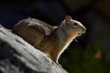 America;American;CA;California;California-ground-squirrel;California-ground-squirrels;California-squirrel;California-squirrels;ground-squirrel;ground-squirrels;John-Muir-Trail;mammal;mammals;national-park;national-parks;Otospermophilus-beecheyi;rodent;rodents;Sierra-Nevada;Sierra-Nevada-foothills;squirrel;squirrels;States;The-Mist-Trail;U.S.A;UN-world-heritage-area;UN-world-heritage-site;UNESCO-World-Heritage-area;UNESCO-World-Heritage-Site;united-nations-world-heritage-area;united-nations-world-heritage-site;United-States;United-States-of-America;USA;West-Coast;West-United-States;West-US;West-USA;Western-United-States;Western-US;Western-USA;wildlife;world-heritage;world-heritage-area;world-heritage-areas;World-Heritage-Park;World-Heritage-site;World-Heritage-Sites;Yosemite;Yosemite-N.P.;Yosemite-Nat-Pk;Yosemite-National-Park;Yosemite-NP