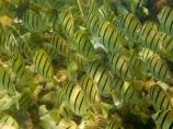 Acanthuridae;Acanthurus-triostegus;America;American;Convict-Tang;Convict-Tangs;coral-reef;coral-reefs;corals;dive-site;dive-sites;diving;ecosystem;environment;fish;fishes;Hanauma;Hanauma-Bay;Hanauma-Bay-Nature-Preserve;Hanauma-Bay-Nature-Reserve;Hanauma-Bay-State-Park;Hanauma-Crater;Hawaii;Hawaiian-Islands;HI;Island-of-Oahu;manini;marine;marine-environment;marine-life;marinelife;Oahu;Oahu;Oahu-Island;Ocean;oceanlife;Oceans;order-Perciformes;Pacific;reef;reefs;school;school-of-fish;schooling;schools;sea;sealife;seas;shaoling;shoal;shoal-of-fish;shoals;snorkeling;snorkelling;State-of-Hawaii;States;surgeonfish;tropical-island;tropical-islands;tropical-reef;tropical-reefs;U.S.A;under-water;under_water;undersea;underwater;underwater-photo;underwater-photography;underwater-photos;United-States;United-States-of-America;USA